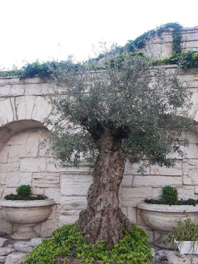 маслина парк межигорье